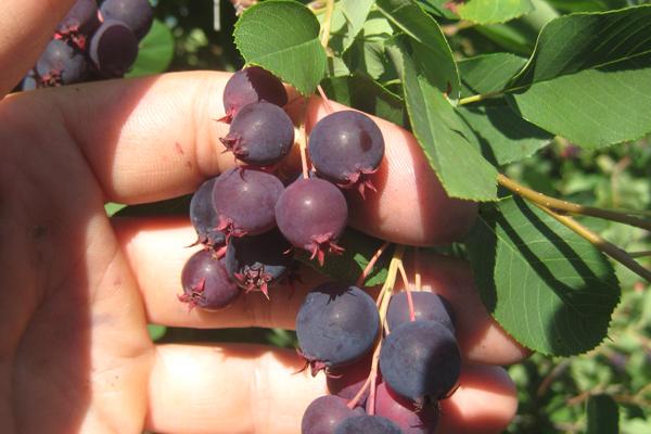 berry5