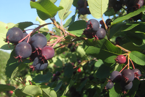 saskatoon-berries