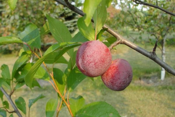 treefruit8