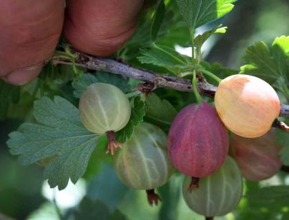 170718-_berries_08